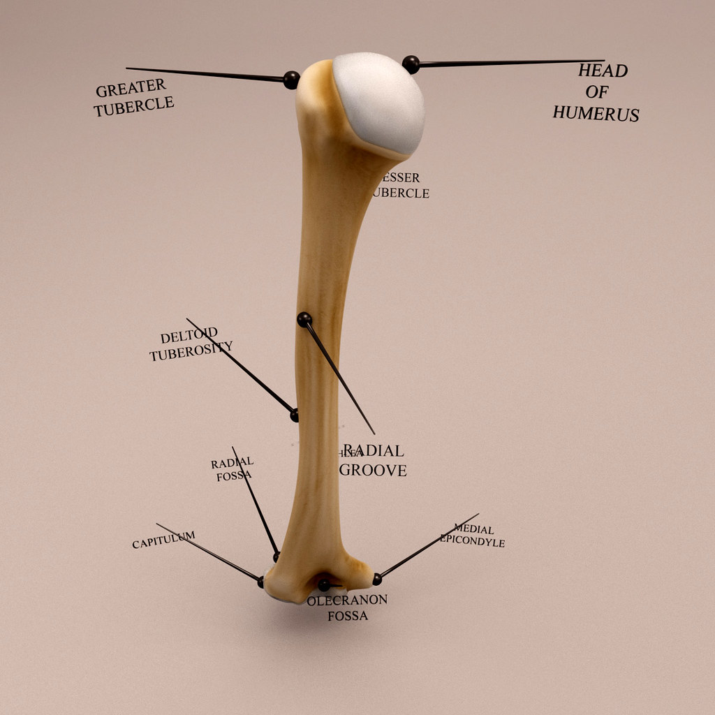 The World\'s Best Photos of anatomy and humerus - Flickr Hive Mind
