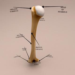 Humerus bone - Anatomy 3D model
