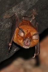 Bat (mgrimm82) Tags: tanzania bat matema animalia mammalia lakemalawi fledermaus eastafrica pipistrelle mbeya tukuyu chiroptera chordata lakenyasa hufeisen kyela rhinolophus malawisee hufeisennase rhinolophidae horseshoebats