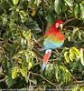 Ara Chloropterus - Ara chloroptère - Ara à ailes vertes - Red and Green Macaw 21.jpg