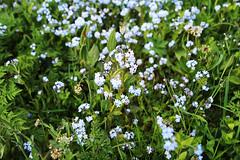 MAI-2014-Miosotis-fleurs-printanières