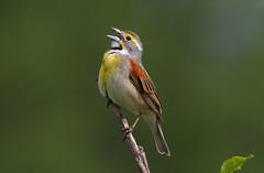 Dickcissel {Explore 5/21/14) (tomblandford) Tags: fantastic wildlife dickcissel maraisdescygnes birdsinging dailynaturetnc13 dailynaturetnc14