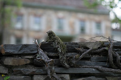 C'mon quick, the house is ours.... (Nick Harris1) Tags: animal photo day slow ivy creep