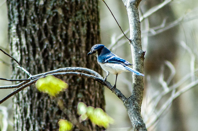 Versailles State Park - Blue Jay - April 26, 2014