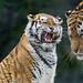 Tiger argument