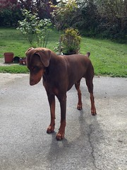 "Red / Brown, Male Doberman Pinscher Zeus ""In Pensive Mood"". (firehouse.ie) Tags: boy red dog brown black male dogs animal animals germany watch hell guard tan hound german devil doberman breed dobie pinscher hounds dobe dobermann dobies dobermans dobes pinschers dobermanns"