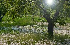 Garten im Mai (sirona27) Tags: wiese mai bume garten lwenzahn frhjahr kirschbume pusteblumen