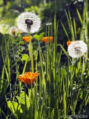 Las flores al sol (yiyo4ever) Tags: flowers flores flower verde green primavera spring country flor olympus dandelion campo omd dientedeleón m43 em5 olympus1250mmf3563