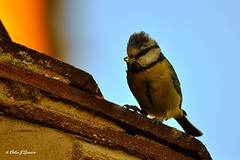 Do you like my hair? (Colin J Spence.....thank you for 350,000+ viewings) Tags: blue roof bird tile bluetit