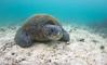 Chelonia mydas - Tortue verte - Black Turtle - Pacific Green Turtle - 2014 Galapagos 13.jpg