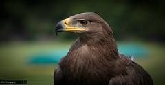 Solitaire Stepp Eagle (Dave Coleman.) Tags: birds fly flying eagle wildlife owl prey birdsofprey