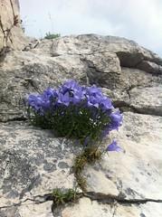 Dal calcare con furore! (Blue Sere) Tags: sardegna flowers blue climb rocks sardinia climbing lilac fiori roccia arrampicata oliena supramonte