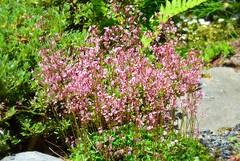 Darts Hill Gardens (careth@2012) Tags: flowers flower closeup garden spring nikon blossom britishcolumbia blossoms bloom blooms londonpride springblossoms d3100 nikond3100