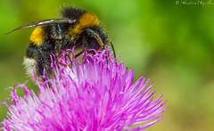 Bourdon - Bumblebee - Abejorro (sebastienpeguillou) Tags: macro closeup insect nikon bumblebee tamron 90mm insecte macrophotography abejorro bourdon macrophotographie d3200 flickrdiamond