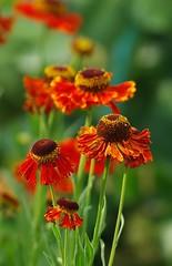 Splendeur d'été (mamietherese1) Tags: soe coth bej saariysqualitypictures coth5 persephonesgarden itsallaboutflowers sunrays5
