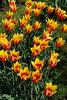 Tulpen im Schlossgarten Rundale 2014