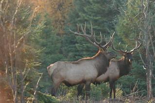 Quebec Elk & Red Stag Hunt 29