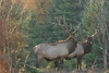 Quebec Elk & Red Stag Hunt 29
