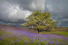 Moody Blues - Holwell Lawn - Dartmoor (Twogiantscoops) Tags: flowers summer west tree nature field bluebells photoshop canon landscape evening flora country lawn plymouth farmland devon lee 5d moors outback filters storms dartmoor 1740mm treescape lonetree manfrotto moorland 2014 moodyblues cpfilter leefilters holwelllawn iplymouth twogiantscoops