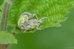 Morning gymnastics (jacobsfrank) Tags: macro nature sex insect nikon flickr nederland thenetherlands natuur zeeland bugs tor kever frankjacobs nikond300s jacobsfrank