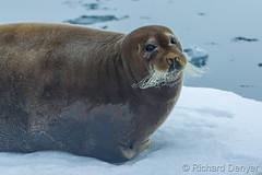 _Y6Q9835 (Richard Denyer) Tags: svalbard icefloe beardedseal