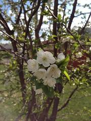 Cherry 3_65