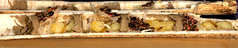 Ancistrocerus nigricornis nest (Scrubmuncher) Tags: hymenoptera wasps solitarywasps predation neststocking nestbuilding entomology insects rosspiper ancistrocerus solitarywasp wasp predator ross piper
