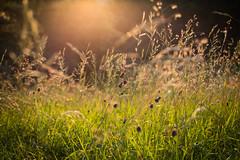Summer (paul.wienerroither) Tags: light summer plants green nature grass outdoors photography 50mm lights warm europe goldenhour