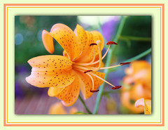 Freckled Face Lily (bigbrowneyez) Tags: flowers orange ontario canada nature soft colours lily blossom sweet bokeh gorgeous ottawa curves july natura curvy fresh dolce stamen frame spotted freckles pollen fiori delicate momsgarden gentle cantaloupe delightful peachy cornice bello bellissimo fioro freckleface freckledfacelily