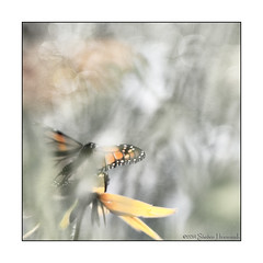 The Season's First Monarch (GAPHIKER) Tags: texture butterfly newjersey monarch daylily milkweed blackeyedsusan hardwick daylilies farmstead whitelake hss vass vassfarmstead savethemonarch happyslidersunday lenebemanna