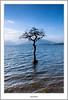 Milarochy Tree in Portrait (flatfoot471) Tags: rural landscape scotland spring lochlomond stirlingshire milarrochybay millarochybay