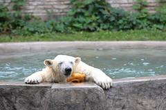 Dripping Kali (Jay Costello) Tags: bear white ny newyork animal zoo buffalo kali polarbear ursine buffalonyzoo