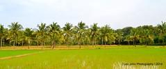 DSC_0502 (Large) (Leo John Simon (Leo John Photography)) Tags: trees green water rice coconut ngc kerala fields
