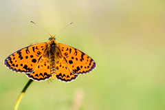 Melitaea didyma (Giuseppe Oricchio) Tags: butterfly nature animals macro nikon 85mm micro orange coloseups life closerandcloser closeup microlife giuseppeoricchio color green lepidoteri insect bug d3100 farfalla nikkor insetto natura fauna black dslr animale fly wings verde arancione allaperto melitaeadidyma