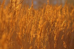 """Reeds on the Ponds"" [explored] (ipon1) Tags: reed nature reeds pond nikon lumière ponds roseaux coucherdesoleil étang camargue méditerranée mfcc étangs roselière nikond90 camarguefrance 攝影發燒友"