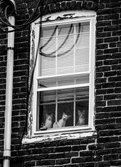 Three cats, One Window (bionicteaching) Tags: cats window cat kitten kittens 5cardflickr