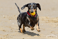 Charlie (Paul Beale Photography) Tags: light red portrait dog pet beach paul photography mare jake hound super charlie wiener fetch weston k9 dapple beale doxie daxie dackle dashsunds