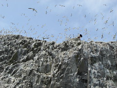 Malee (mr_snipsnap) Tags: birds rock scotland bass flock forth sanctuary colony gannets lothian nesting firth malee