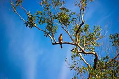 Boeneo (Achie Sabrun) Tags: sky tree bird nature nationalpark wildlife kingfisher