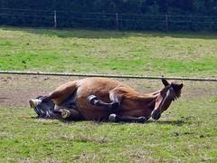 das Leben ist schn! (mama knipst!) Tags: horse animal cheval natur cavallo pferd tier