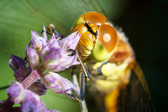 Dragonfly's Eyes (BobbyKSmooth) Tags: hairy flower macro eye up insect wings close dragonfly grub mandibles