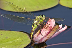 Emperor Dragonfly (Anax imperator) Female ovipositing eggs (Nexus Nine Photography) Tags: summer kewgardens nature water animal insect dragonfly wing creature emperor hawker imperator aeshnidae anax anaximperator emperordragonfly hawkerdragonfly