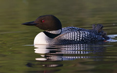 Common Loon Portrait (maryanne.pfitz) Tags: morning summer lake bird water wisconsin swimming dawn wildlife waterbird loon tomahawk commonloon gaviaimmer northernwisconsin lincolncounty divingbird maryannepfitzinger map100813