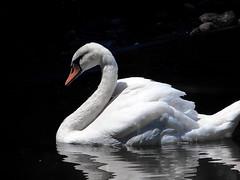 IMG_6287 the white beauty - ON EXPLORE # 178 (pinktigger) Tags: italy white bird nature beauty swan italia friuli fagagna oasideiquadris feagne