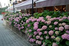 "140629156md Ohrid (galpay) Tags: flower md samsung macedonia ohrid blume csc çiçek makedonya galpay lychnidos 140629 λυχνιδόσ ""lacus lychnitis"" λυχνίτισ liknidos"