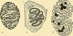 Anglų lietuvių žodynas. Žodis spindle-fibres reiškia verpstės pluoštai lietuviškai.