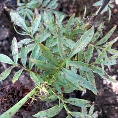 Tagetes: Poss. Cercospora or Alternaria leaf spot