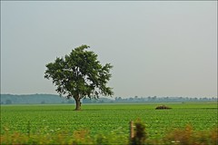 The Flickr Lounge: From A Distance (Sue90ca) Tags: tree field canon hay fromadistance lonetree 60d takenoutthewindow theflickrloungeweeklytheme