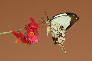 Mocker Swallowtail ♂ Papilio dardanus