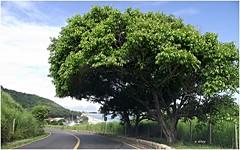 Árvore (o.dirce) Tags: árvore planta paisagem grumari riodejaneiro odirce